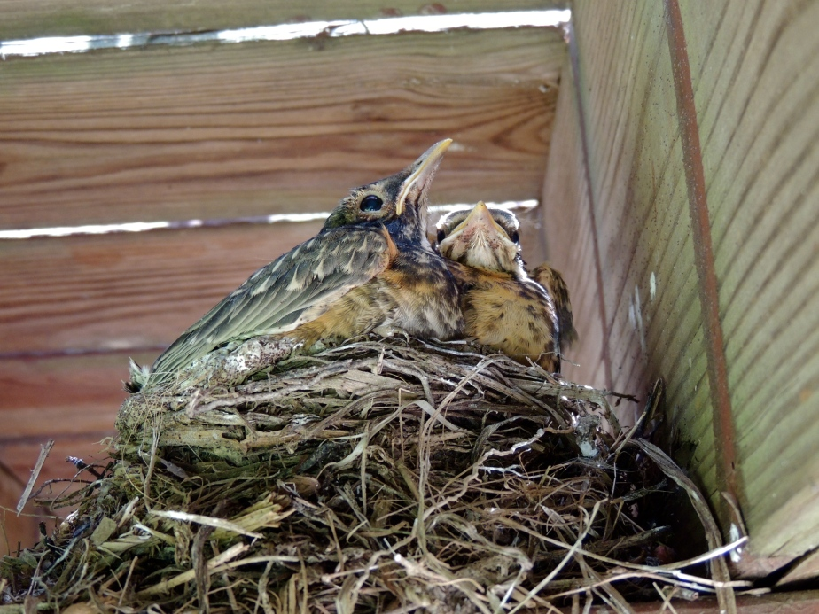 American Robin hatchlings in nest under deck