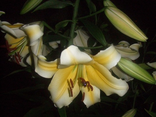 Yellow  Lily 1 2007