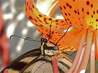 Eastern Tiger Swallowtail 2