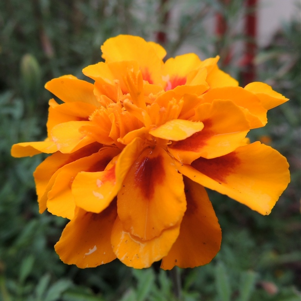 Single Marigold Flower 2