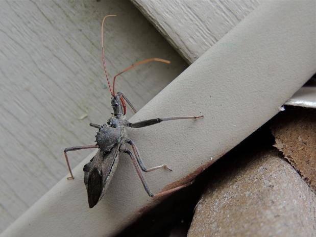 Arilus cristatus - Wheel Bug