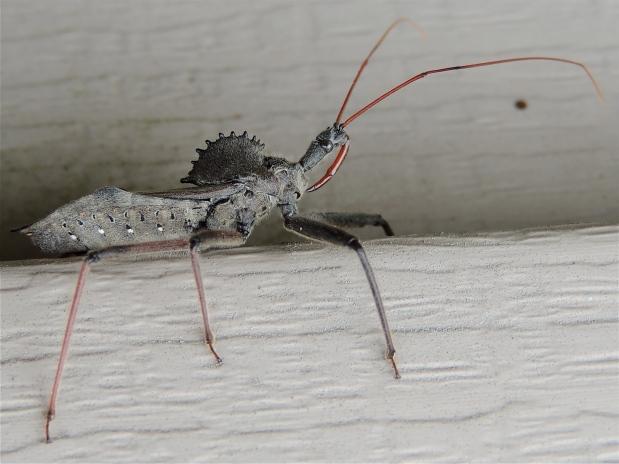 Arilus cristatus - Wheel Bug 2