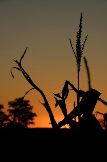 Corn fields in East Allen Township Pennsylvania