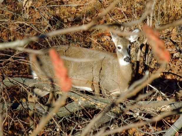 Female Whitetail Deer