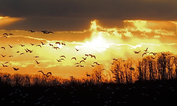 Snow Geese and Sunset