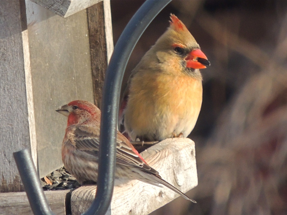 Female Cardinal and Male House Finch