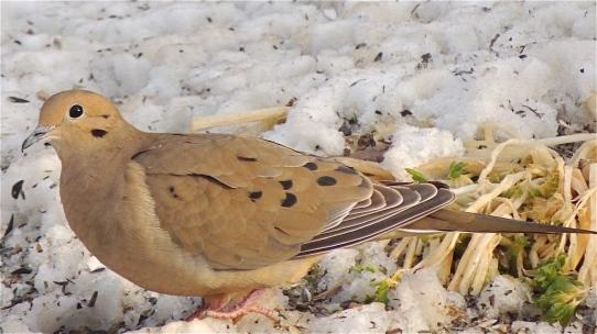 Mourning Dove bird