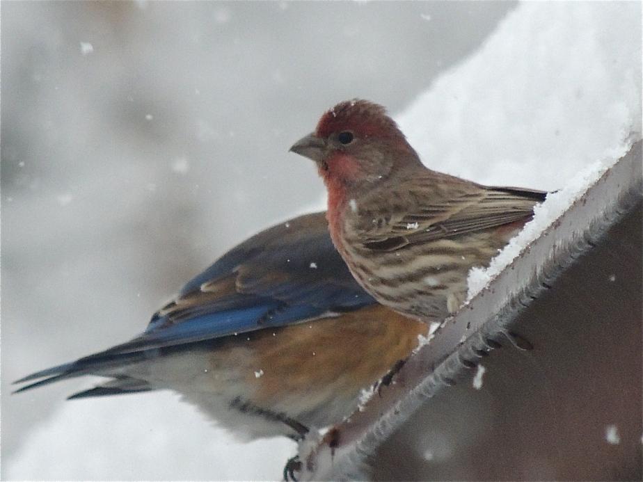 birds House Finch and Blurbird