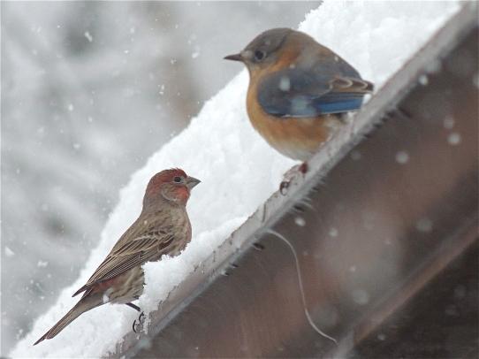 Birds Bluebird and House Finch
