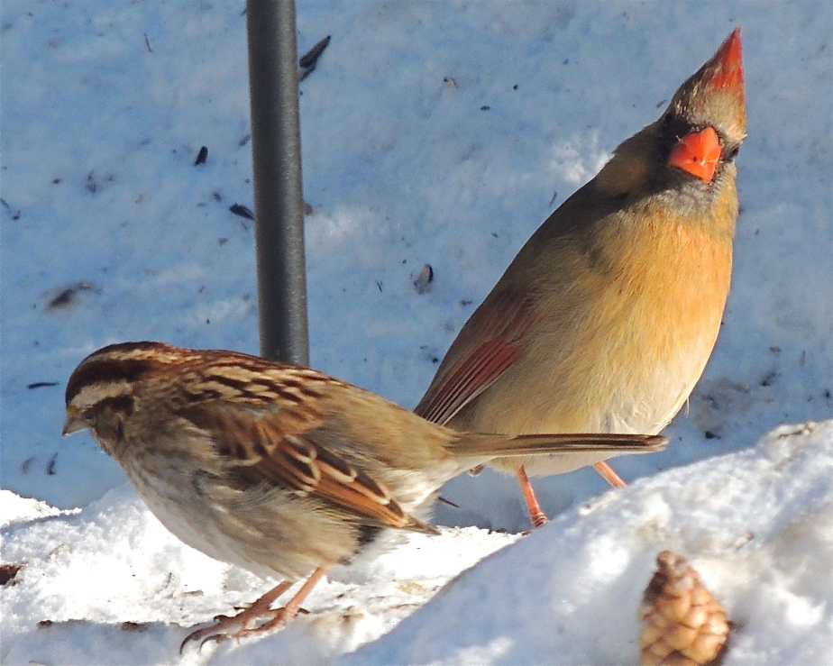 Female Cardinal and White-throated Sparrow