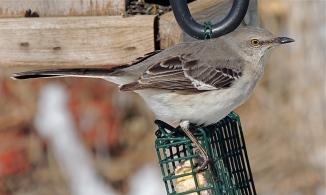 Northern Mocking Bird