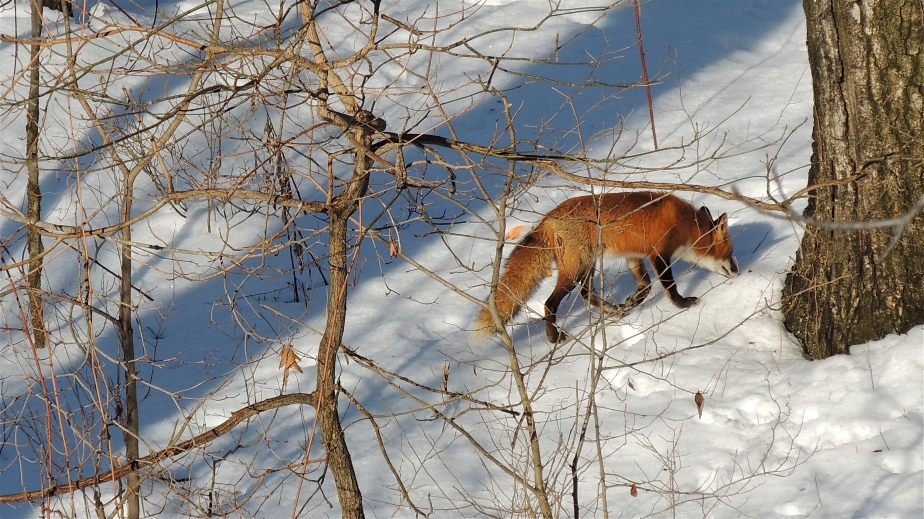 American Red fox animal