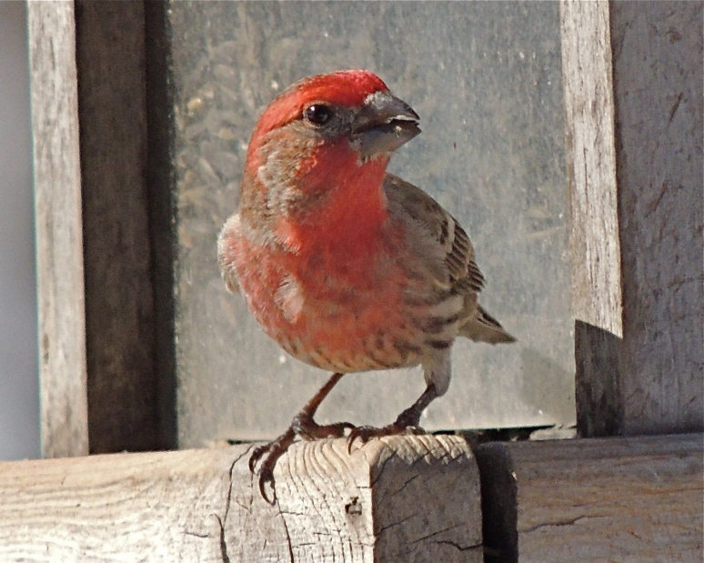 Male House Finch bird