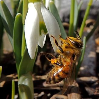 Honey Bee and Snow Drop - 2