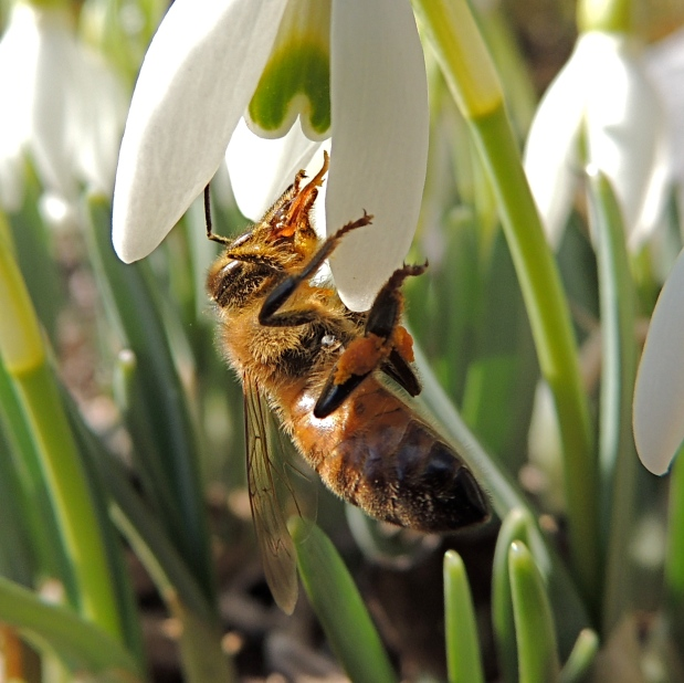Honey Bee and Snow Drop - 3