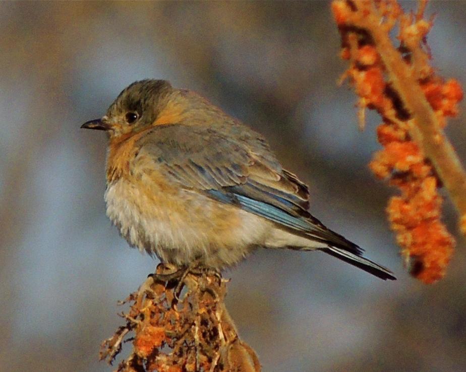 Bluebird in winter color on sumac berries