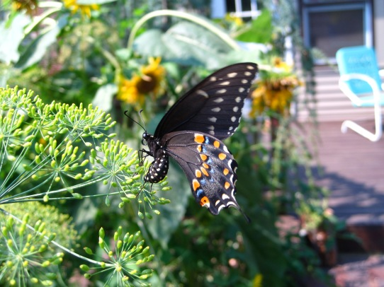 Black Swallowtail Butterfly laying egg on Dill plant