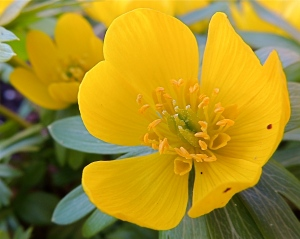 Close-up Winter Aconite flower