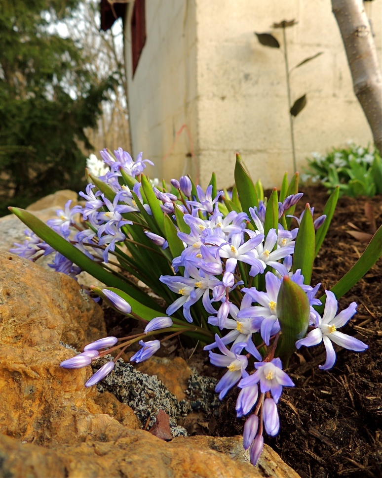 Chionodoxa Glory of the Snow flower