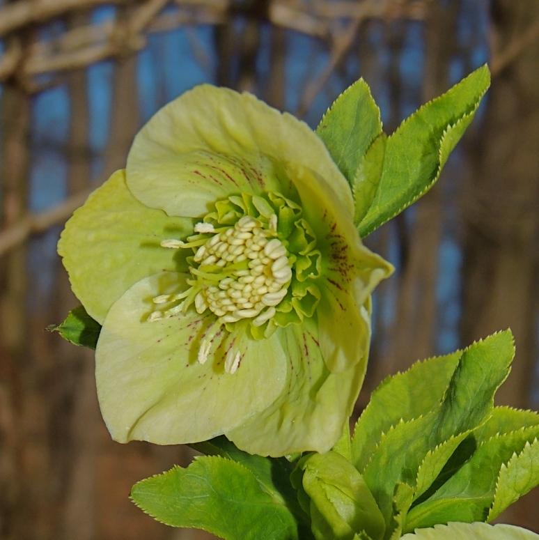 Hellelbore flowers