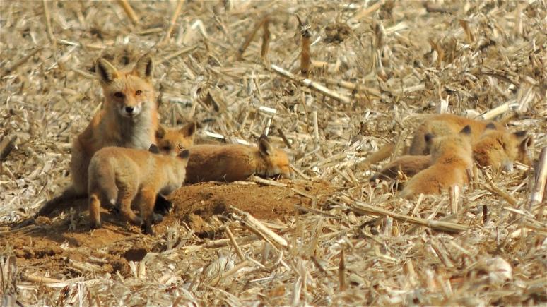 Amerian Red Fox and six Kits