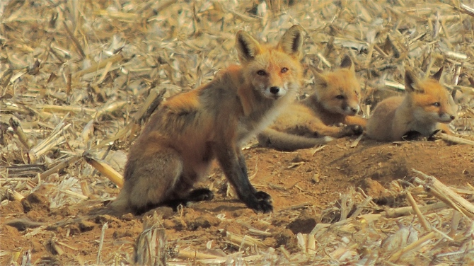 American Red Fox and Kits