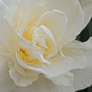 Close-up of a Double daffodil flower