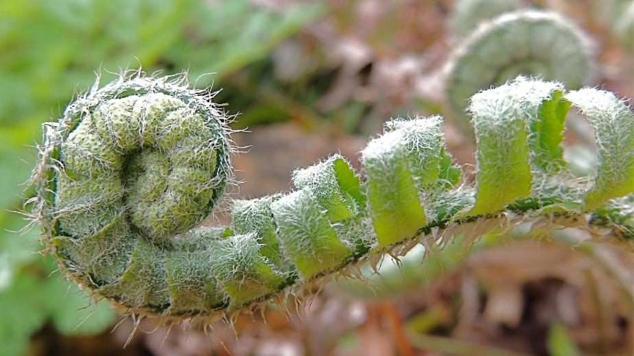 Christmas fern fiddlehead