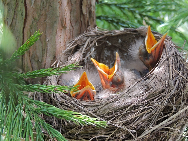 New-born American Robin s in the cryptomeria japonica