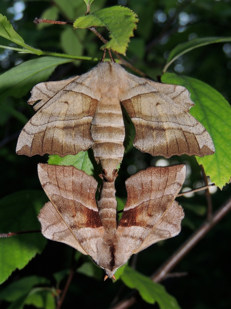 Walnut Sphinx Moths 2