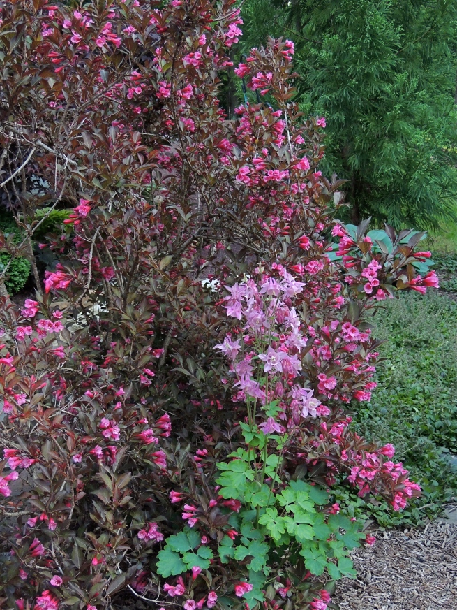 Pink Columbine and Wine and Roses Weigela