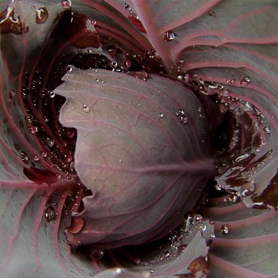 Red cabbage with morning dew, vegetable gardens at Valley View