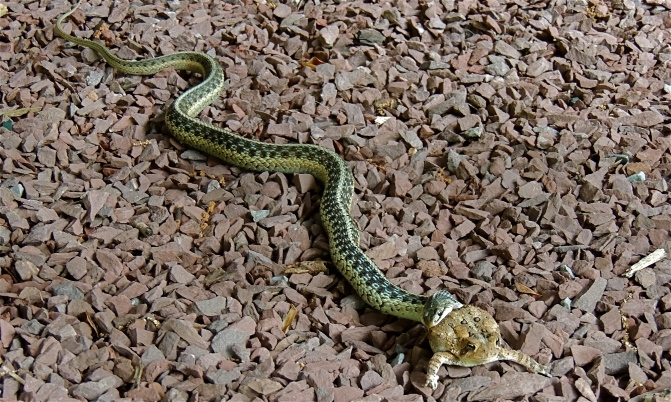 Garter snake and American toad