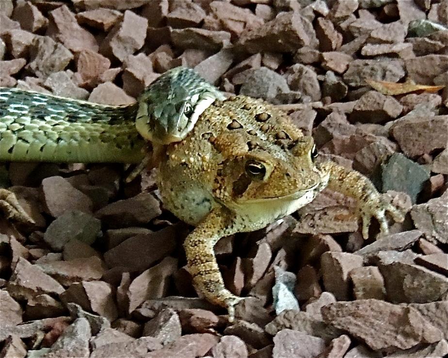 Eastern Garter snake American toad
