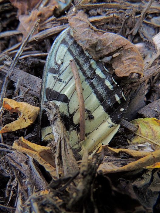 Tiger Swallowtail wing amongst woodland debris