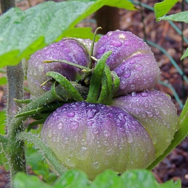 Heirloom tomato Blue Beauty