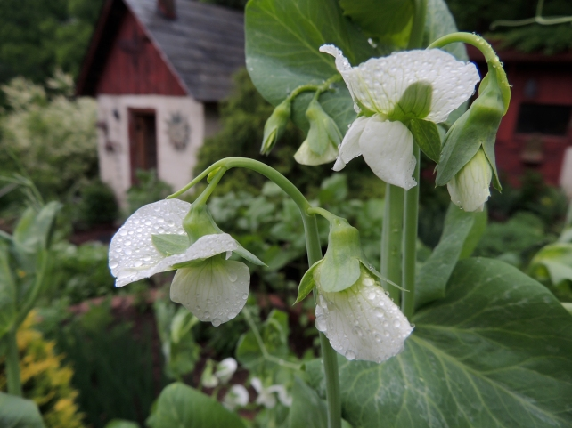 Snow pea blossoms with potting shed in background