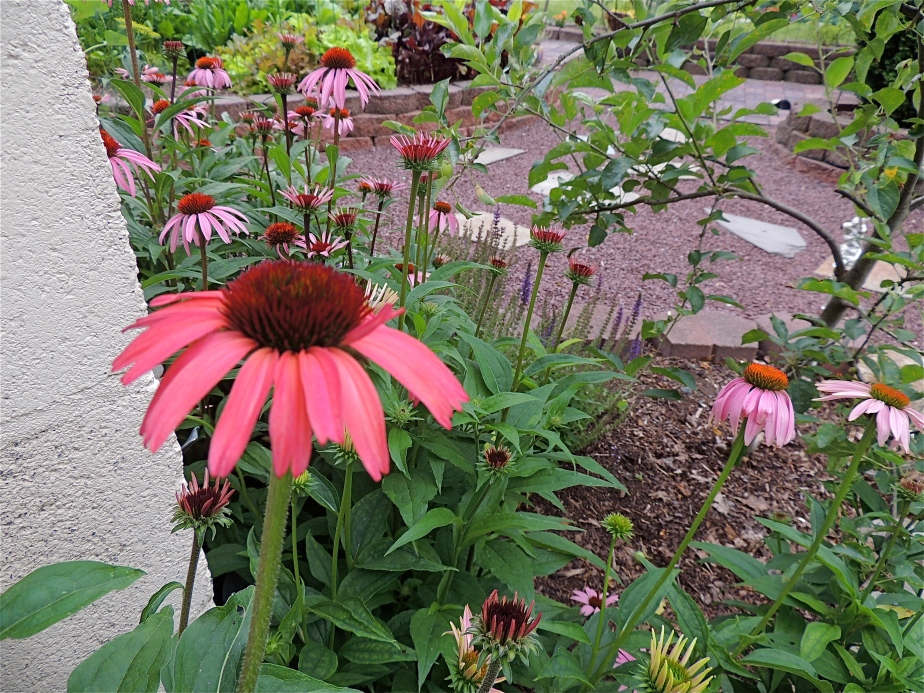 Echinacea -Cone flowerin front of potting shed