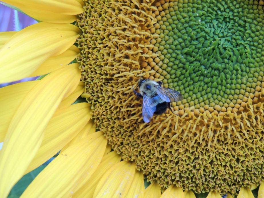 Bumblrbee on self-seeded sunflower