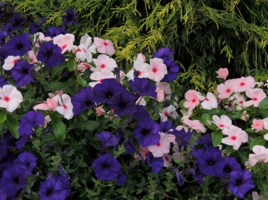 Vinca and Purple Wave petunia