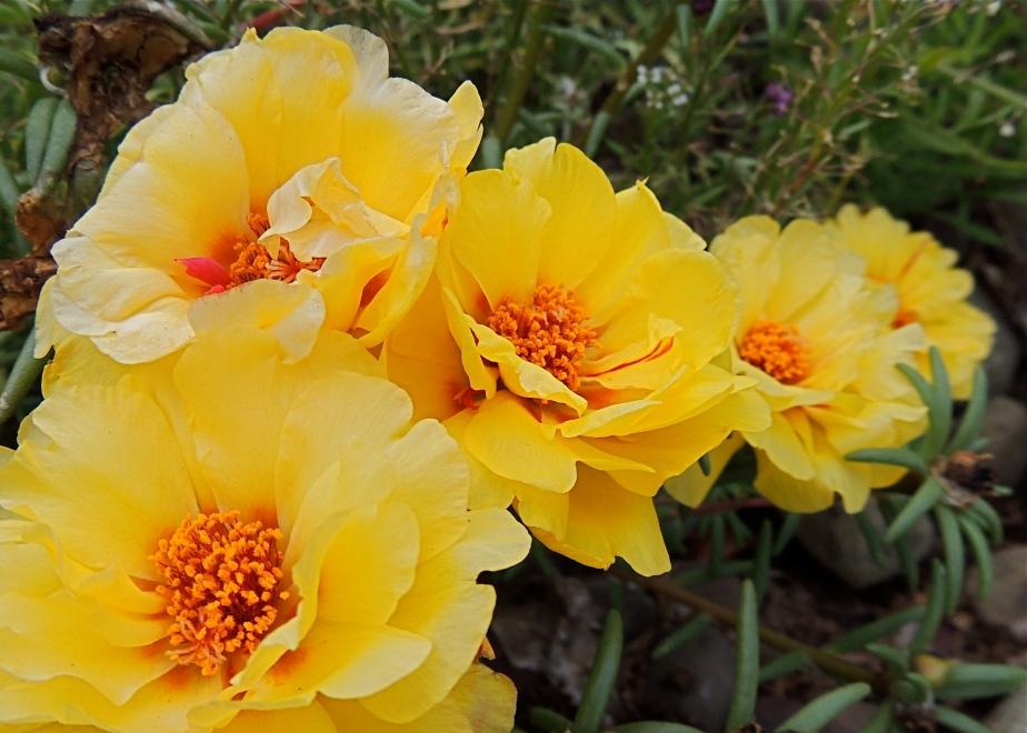 Self-seeded portulaca flowers