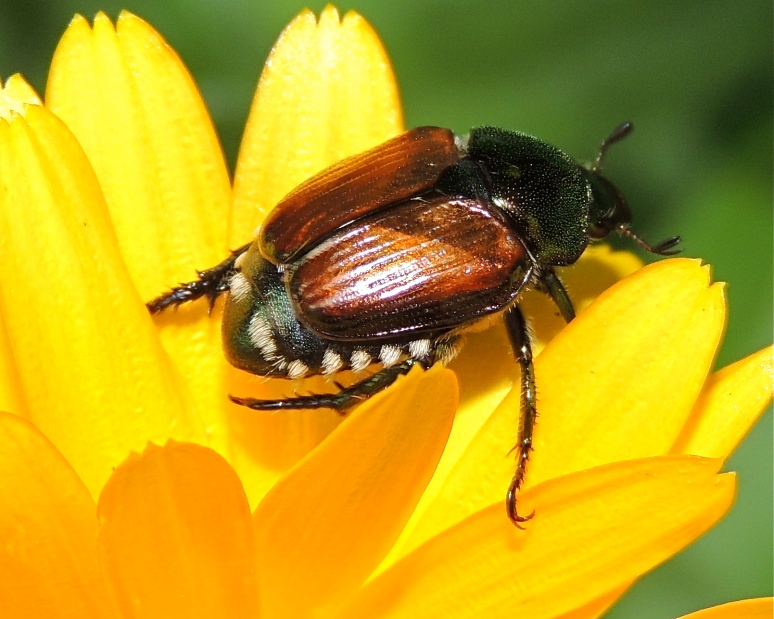 Japanese beetle on calendula flower