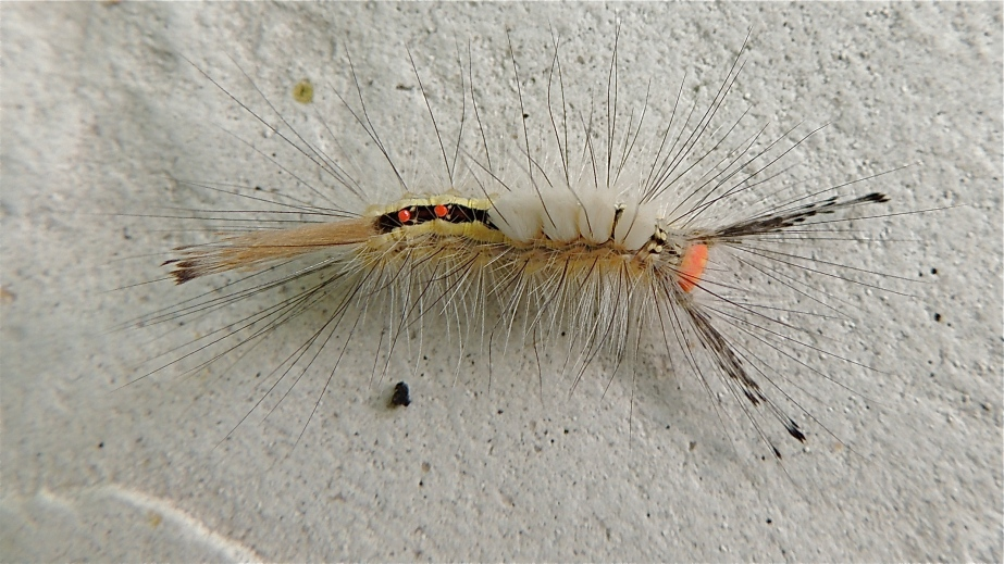 White marked Tussock moth caterpillar