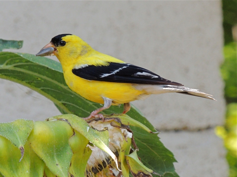 American Goldfinch bird