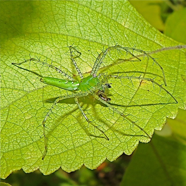 Green spider on green leaf Bastrop State Park