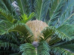 Sago palm Zilker Botanical Garden