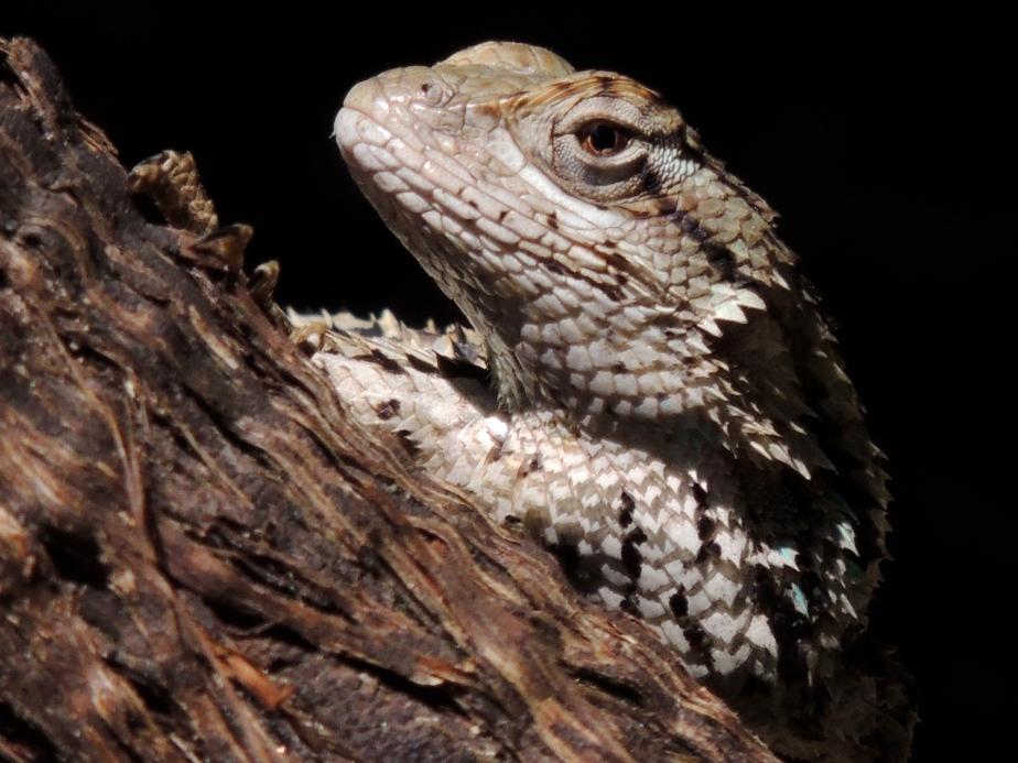 Lizard Zilker Bontanical Garden