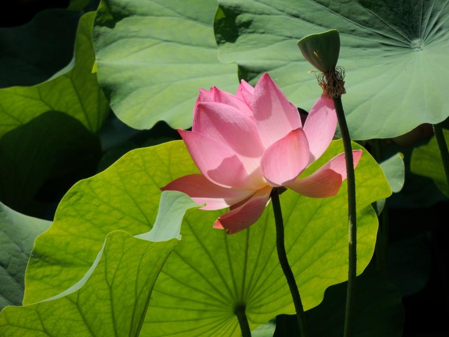 Lotus blossom Zilker Botanical Garden