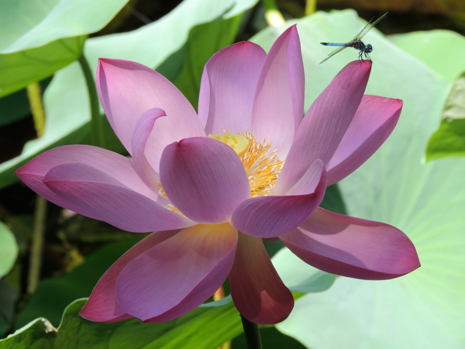 Dragonfly and Lotus Blossom