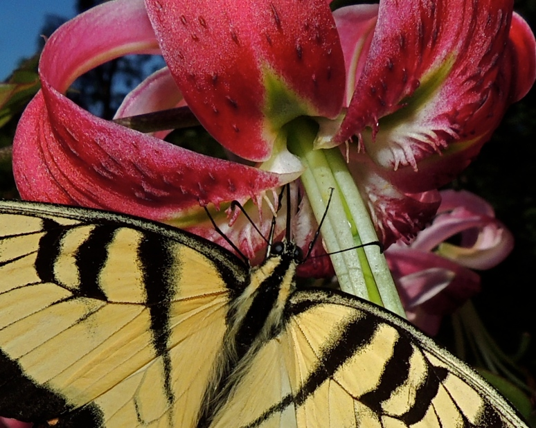 Black Swallowtail butterfly on Oriental lily